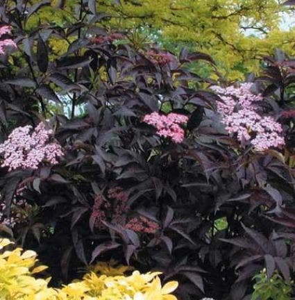 Zwarte vlier (Sambucus nigra 'Black Beauty')-Plant in pot-40/50 cm. Kleur: roze