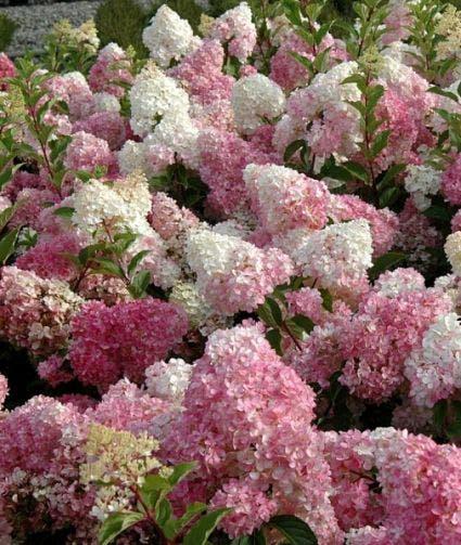 Pluimhortensia (Hydrangea paniculata 'Vanille Fraise')-Plant in pot-40/50 cm