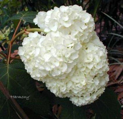 Eikenbladhortensia (Hydrangea quercifolia 'Harmony') - 25/30 cm.. Kleur: wit