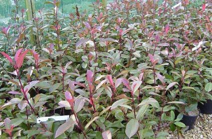 Glansmispel (Photinia fraseri 'Camilvy')-Plant in pot-30/40 cm. Kleur: wit