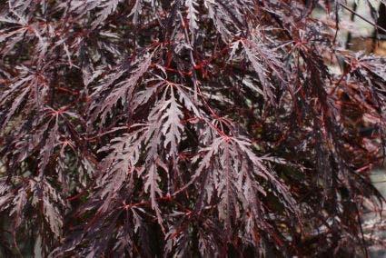 Japanse Esdoorn (Acer palmatum 'Tamuke Yama') - 100/125 cm.