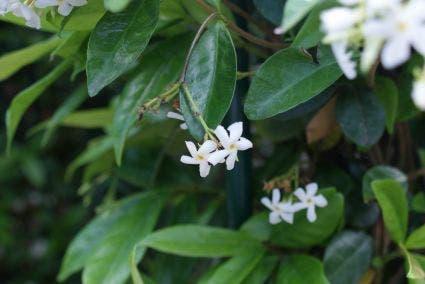 Toscaanse Jasmijn (Trachelospermum jasminoides) - 175/200 cm. Kleur: wit