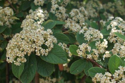 Dwergmispel (Cotoneaster lacteus)-Plant in pot-25/30 cm. Kleur: wit