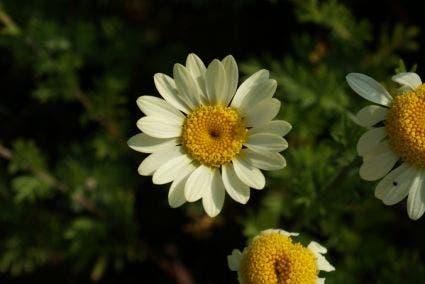 Gele Kamille / Verfkamille (Anthemis hybrida 'E.C. Buxton')-Plant in pot-C2. Kleur: geel