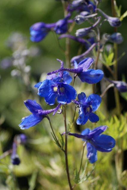 "Ridderspoor (Delphinium 'Bellamosum'). Kleur: [""blauw"", ""paars""]"