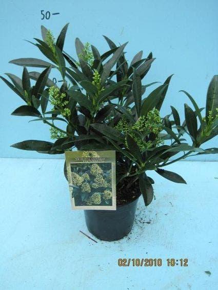 Skimmia (Skimmia confusa 'Kew Green') - 25/30 cm.. Kleur: wit