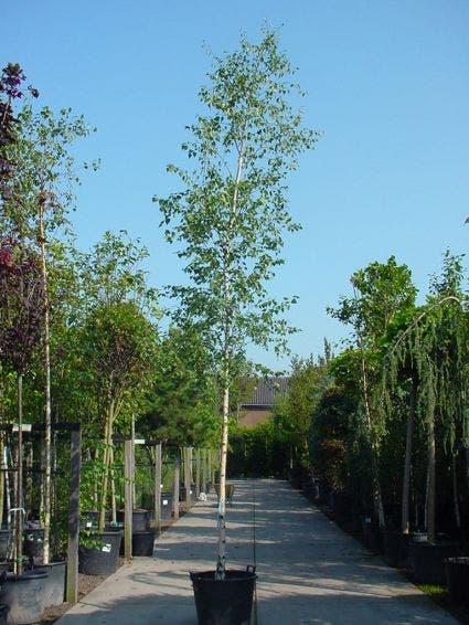 Chinese berk (Betula albosinensis)-Plant uit volle grond-10/12 cm