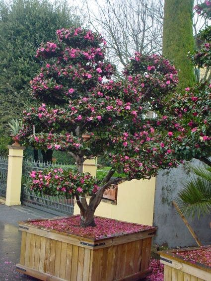 Camelia als bonsai (Camellia sasanqua)-Plant in pot-150/200 meerstammig. Kleur: roze
