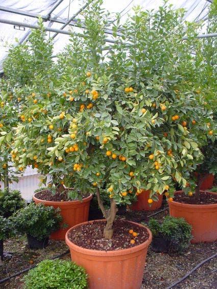 Kumquat (Citrus kumquat) - 60 stam. Kleur: wit