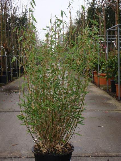 Niet woekerende Bamboe (Fargesia murieliae 'Bimbo') - 50/60 cm.