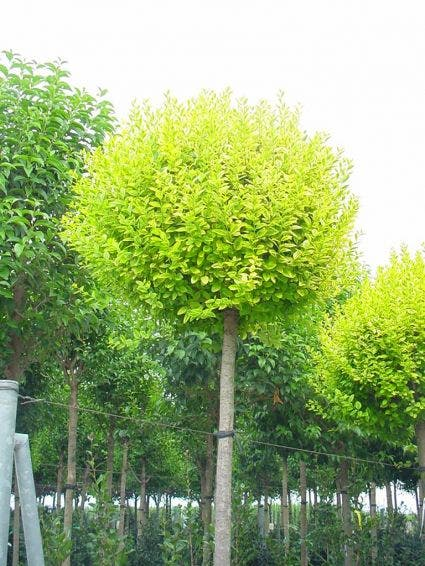 Liguster als boom (Ligustrum ovalifolium 'Aureum'). Kleur: wit