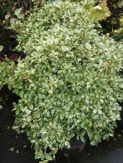 Schijnhulst (Osmanthus heterophyllus 'Goshiki') - 20/25 cm.