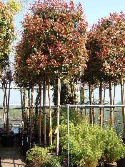 Glansmispel als leiboom (Photinia fraseri 'Red Robin') 120 cm stam. Kleur: wit