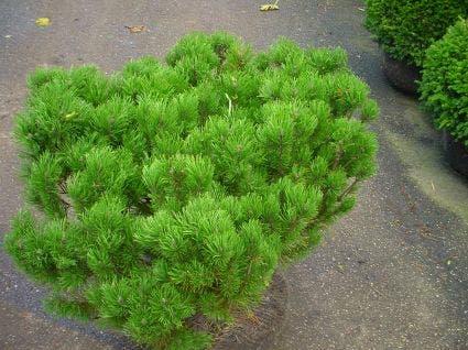 Bergden (Pinus mugo mughus) 30/40 cm