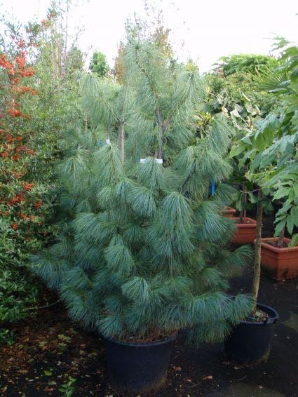 Treurden (Pinus wallichiana) - 40/60 cm