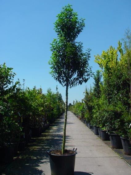 Portugese laurier als boom (Prunus lusitanica 'Angustifolia')-Plant in pot-6/8 cm. Kleur: wit