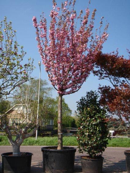 Japanse sierkers (Prunus serrulata 'Kanzan')-Plant uit volle grond-20/25 cm. Kleur: roze