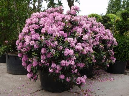 Rhododendron (Rhododendron 'Roseum Elegans') - 40/50 cm.