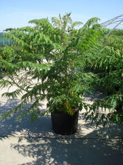 Fluweelboom (Rhus typhina 'Dissecta' (Laciniata))-Plant in pot-200/250 cm. Kleur: rood
