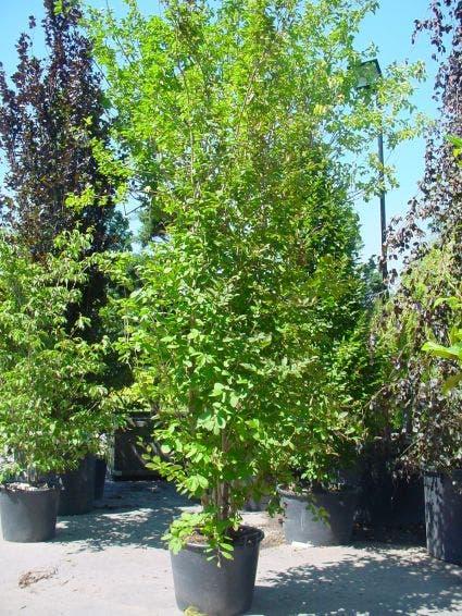 Schijncamelia (Stewartia pseudocamellia)-Plant in pot-150/175 cm. Kleur: wit