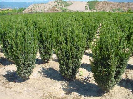 Venijnboom (Taxus media 'Hillii') 50/60 cm