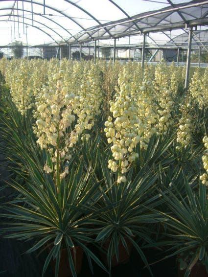 Palmlelie (Yucca gloriosa 'Variegata') - C10. Kleur: wit