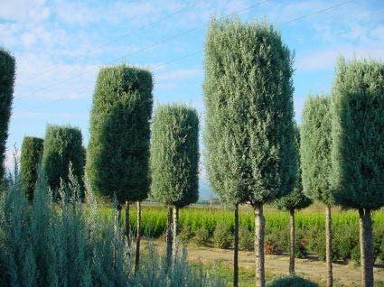 Cipres als boom (Cupressus arizonica 'Glauca')