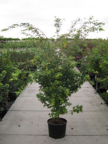 Japanse esdoorn (Acer palmatum 'Sangokaku') - 100/125 cm.