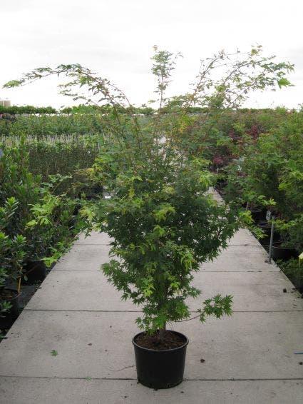 Japanse esdoorn (Acer palmatum 'Sangokaku') - 125/150 cm