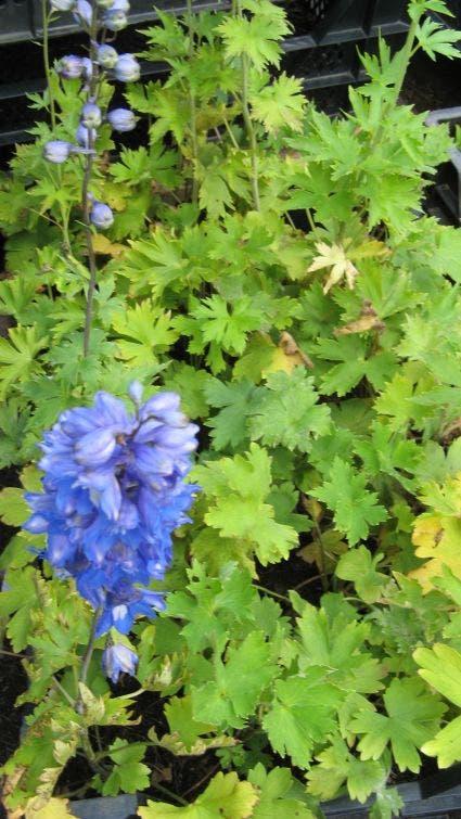 "Ridderspoor (Delphinium 'Summer Skies'). Kleur: [""blauw"", ""meerkleurig"", ""wit""]"