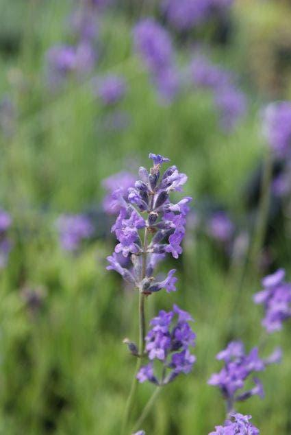 Lavendel (Lavandula angustifolia 'Dwarf Blue')-Plant in pot-C2. Kleur: paars