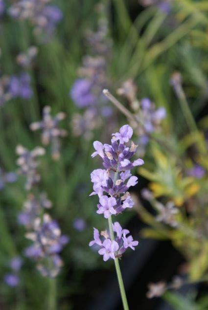 Lavendel (Lavandula angustifolia 'Munstead')-Plant in pot-C5. Kleur: blauw