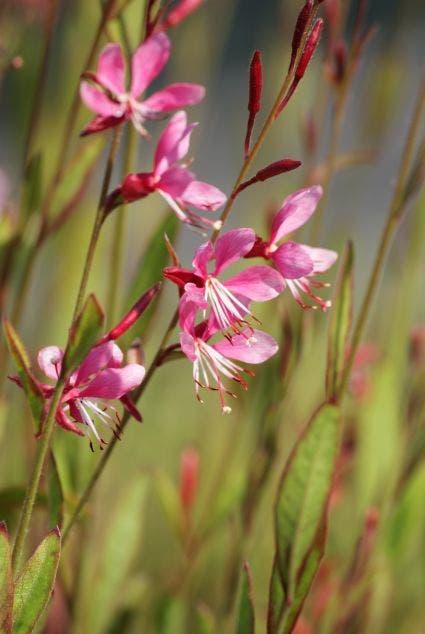 Lindheimer's kaars (Gaura lindheimeri 'Siskiyou Pink')-Plant in pot-C2. Kleur: roze