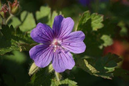 Ooievaarsbek (Geranium magnificum)-Plant in pot-C2