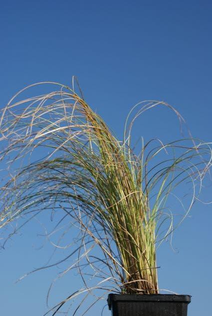 Zegge (Carex comans 'Frosted Curls') C2. Kleur: groen