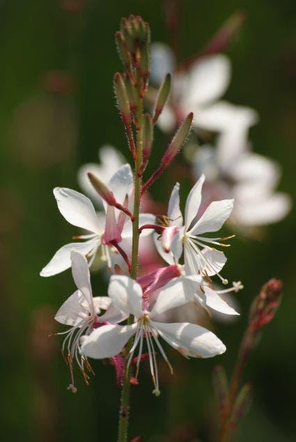 Lindheimer's kaars (Gaura lindheimeri 'Whirling Butterflies')-Plant in pot-C2