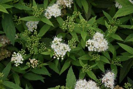Spierstruik (Spiraea japonica 'Albiflora')-Plant in pot-50/60 cm. Kleur: wit