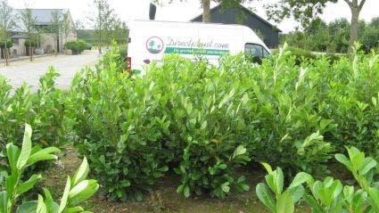 Laurier (Prunus laurocerasus 'Rotundifolia') - 175/200 cm. Kleur: wit