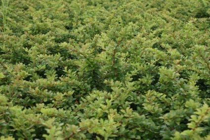 Zuurbes (Berberis thunbergii)-Plant uit volle grond-60/80 cm. Kleur: geel