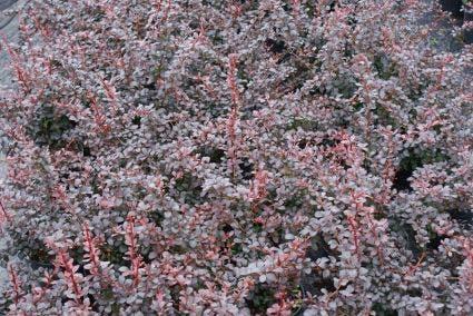 Zuurbes (Berberis thunbergii 'Atropurpurea') - 30/40 cm.. Kleur: geel