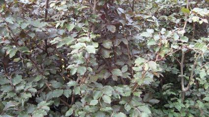 Rode beukenhaag (Fagus sylvatica 'Atropunicea')-Plant uit volle grond-175/200 cm