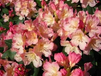 Dwergrhododendron (Rhododendron 'Percy Wiseman'). Kleur: roze