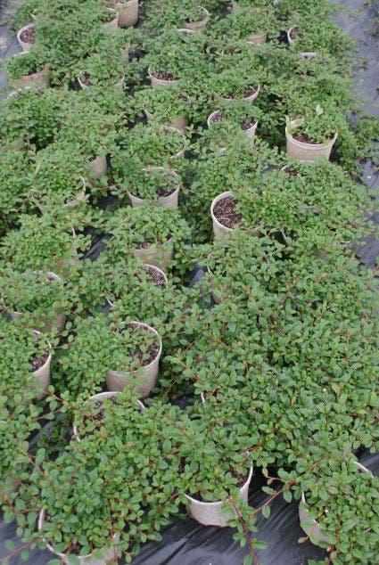 Dwergmispel (Cotoneaster dammeri 'Major') - 25/30 cm.. Kleur: wit