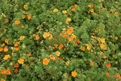 Ganzerik (Potentilla fruticosa 'Hopley's Orange') - 25/30 cm.. Kleur: oranje