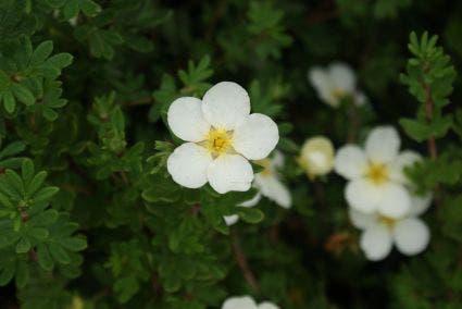Ganzerik (Potentilla fruticosa 'McKay's White') - 25/30 cm. Kleur: wit