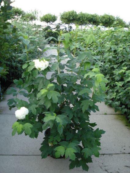 Gelderse roos (Viburnum opulus 'Compactum') - 30/40 cm.. Kleur: wit
