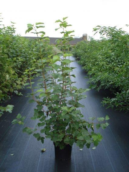 Gelderse Roos (Viburnum opulus)-Plant in pot-100/125 cm. Kleur: wit