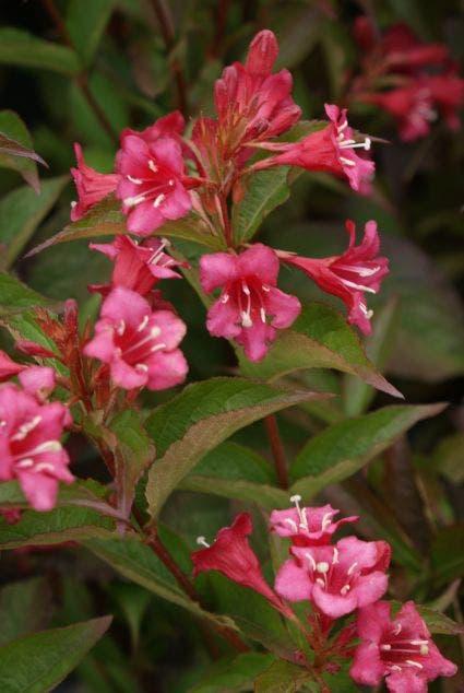 Weigela (Weigela 'Bristol Ruby') - 30/40 cm.. Kleur: rood