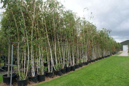 Meerstammige Berk (Betula pendula)-Plant in pot-500/550 meerstammig