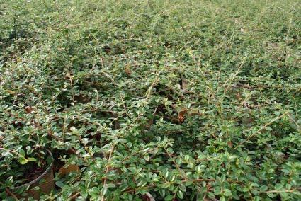 Dwergmispel (Cotoneaster suecicus 'Coral Beauty') - 25/30 cm.. Kleur: wit
